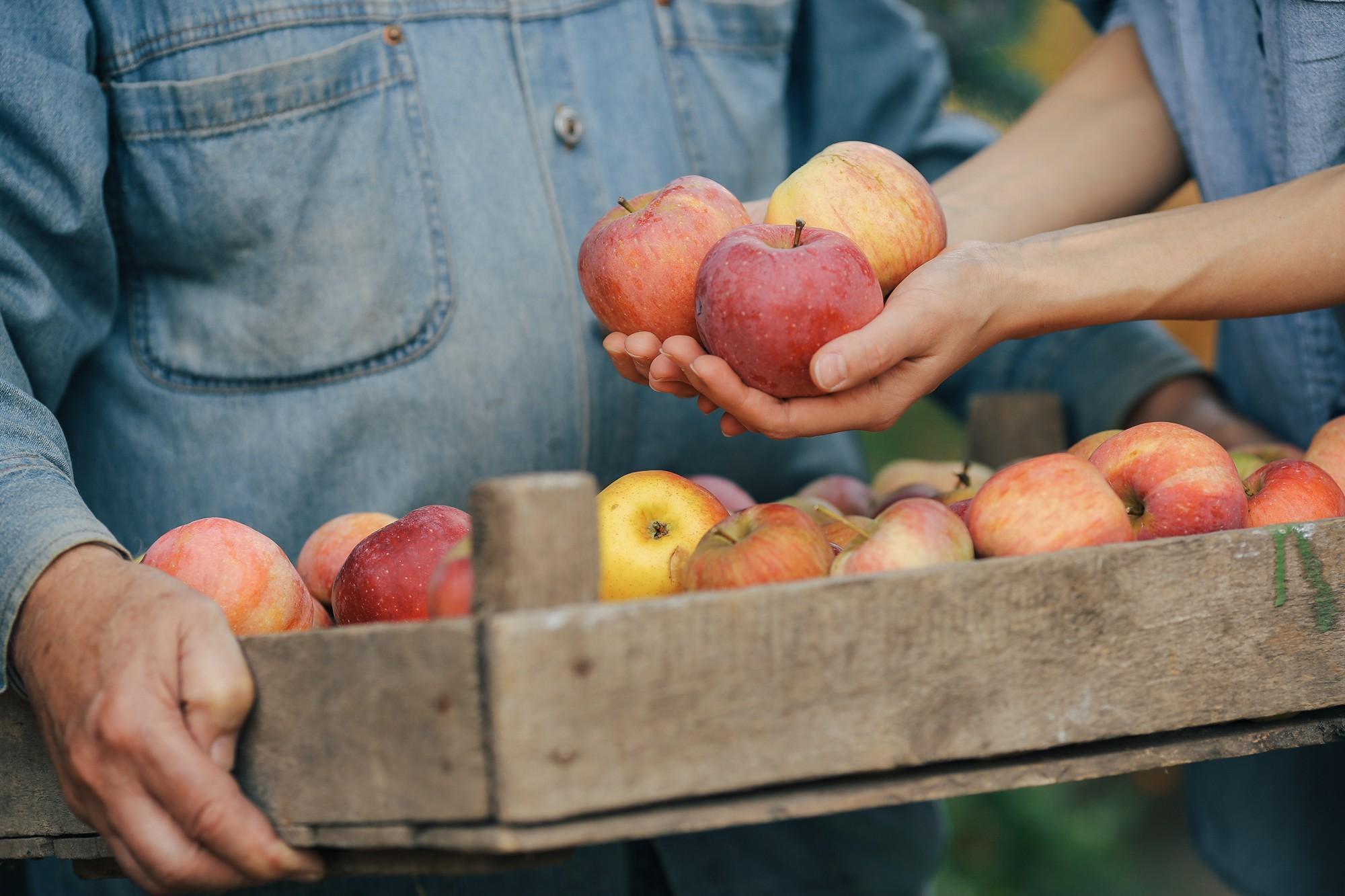 Od pokoleń sandomierscy sadownicy zajmują się produkcją jabłek