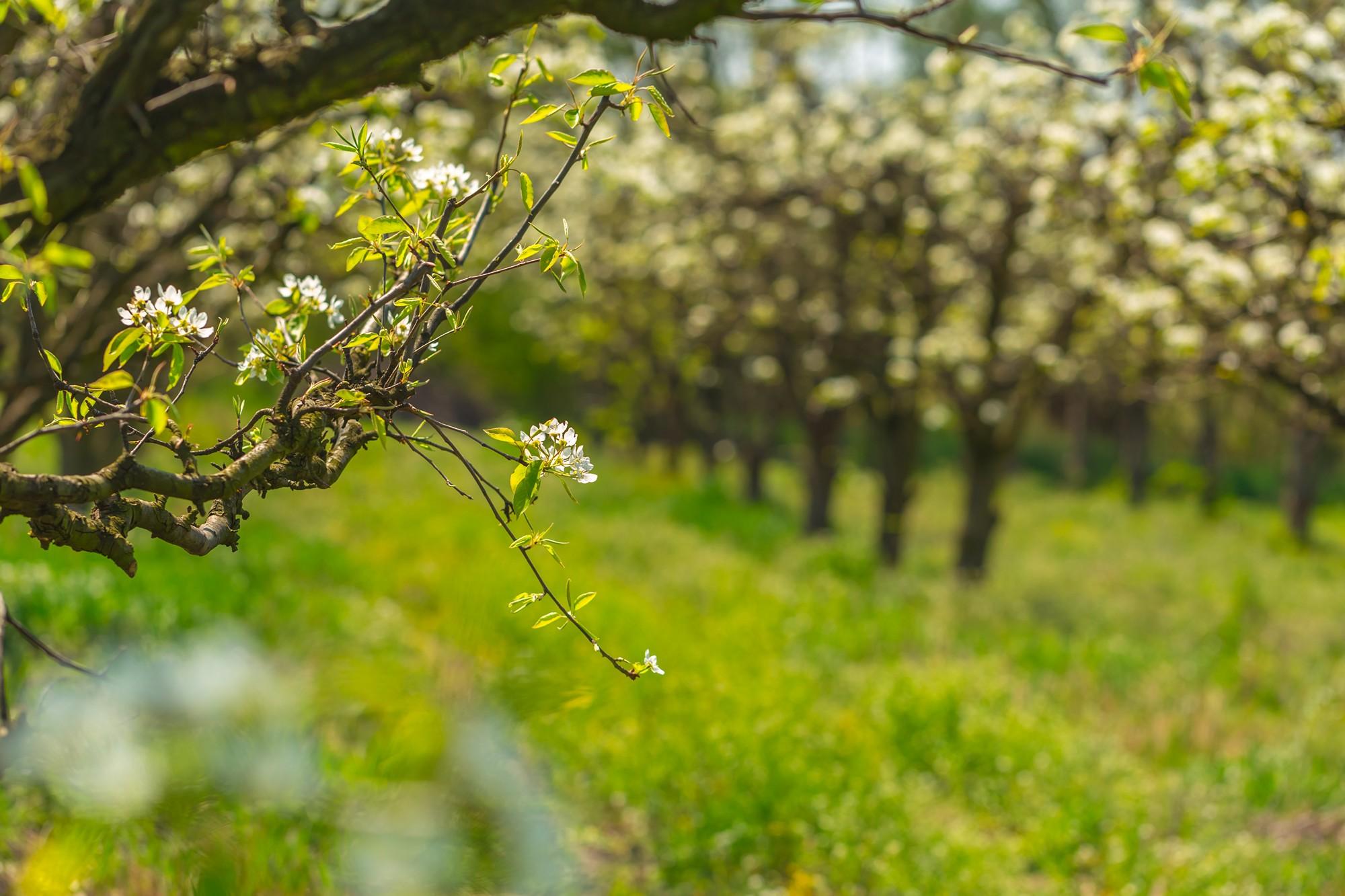 Sandomierskie sady to główny dostawca naszych jabłek